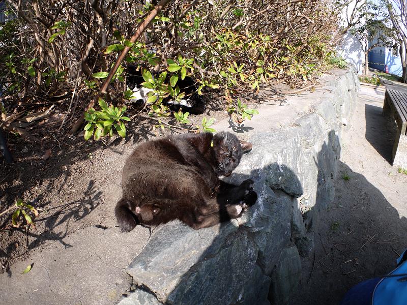 茂み前のスペースで転がる黒猫4