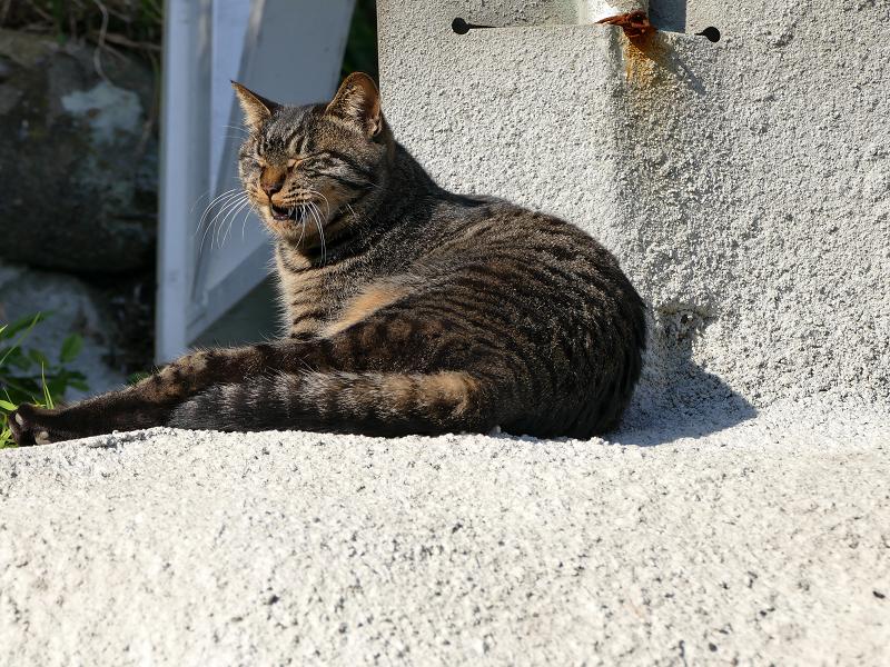娘キジトラ猫の欠伸4