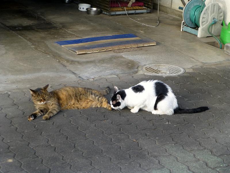 サビ柄猫の足を嗅ぐ白黒猫2
