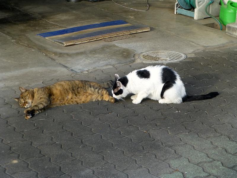 サビ柄猫の足を嗅ぐ白黒猫3