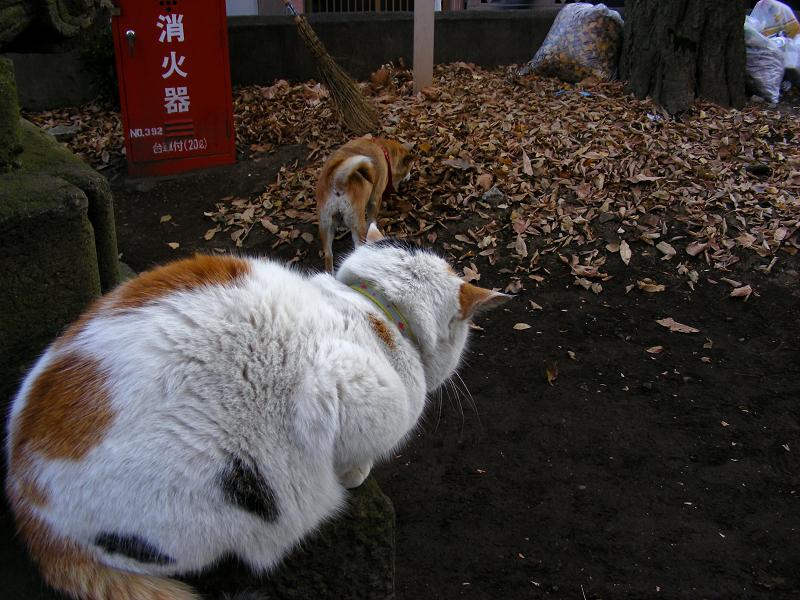 犬を見ている三毛猫1