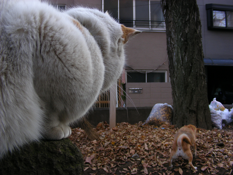犬を見ている三毛猫2