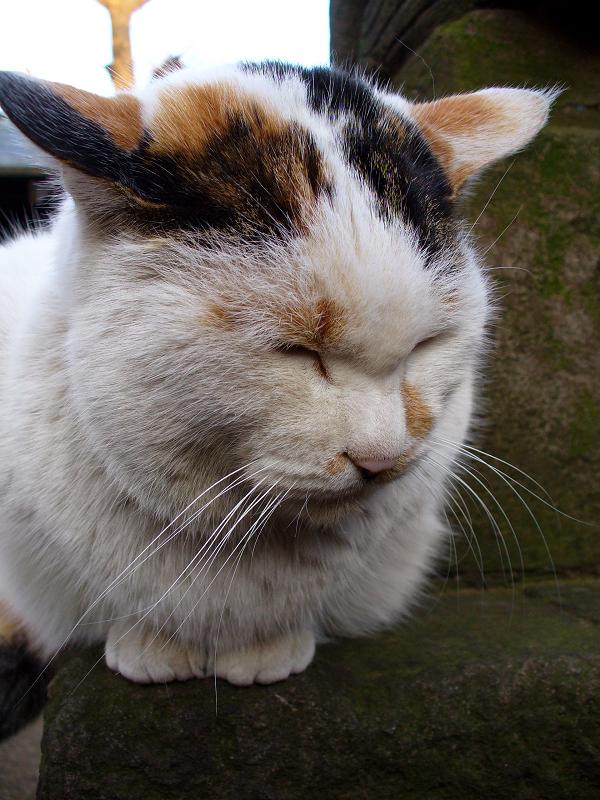 犬を見ている三毛猫3