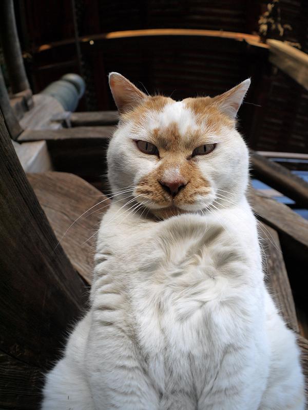 階段で立ち上がってる茶白猫2