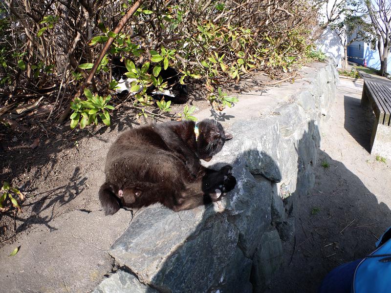 茂み前のスペースで気持ち良さそうな黒猫1