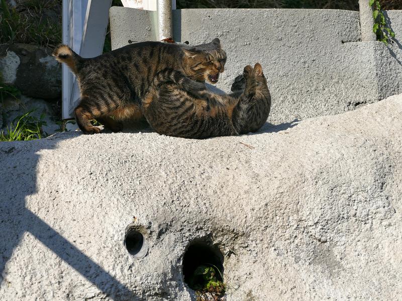 母娘キジトラ猫の諍い1