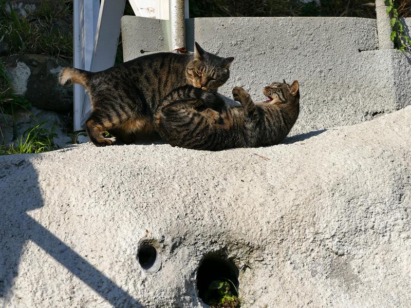 母娘キジトラ猫の諍い2