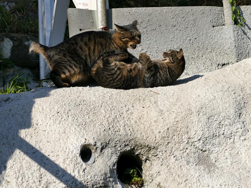 母娘キジトラ猫の諍い3