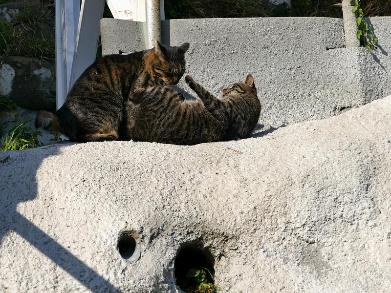 母娘キジトラ猫の諍い4