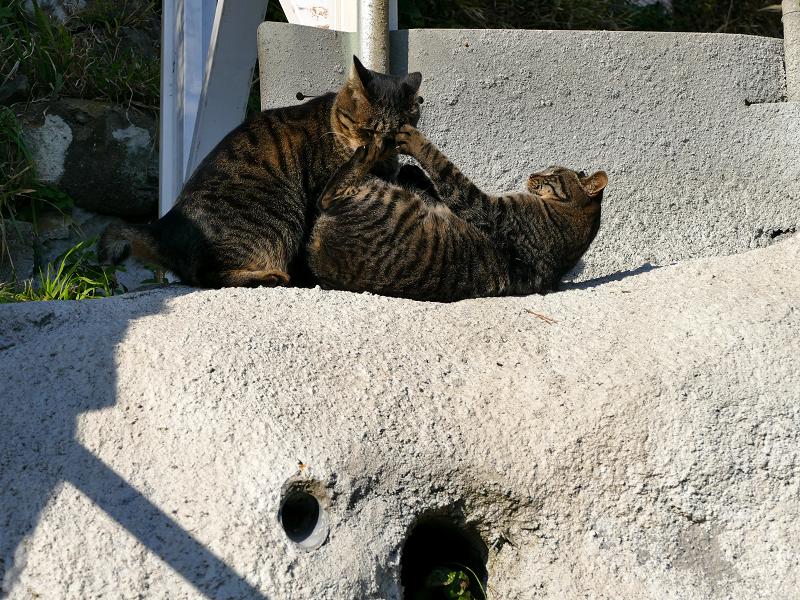 母娘キジトラ猫の諍い5