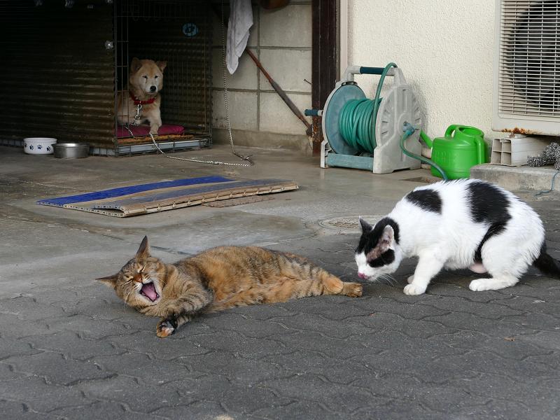 白黒猫に足を嗅がれてアクビするサビ柄猫1