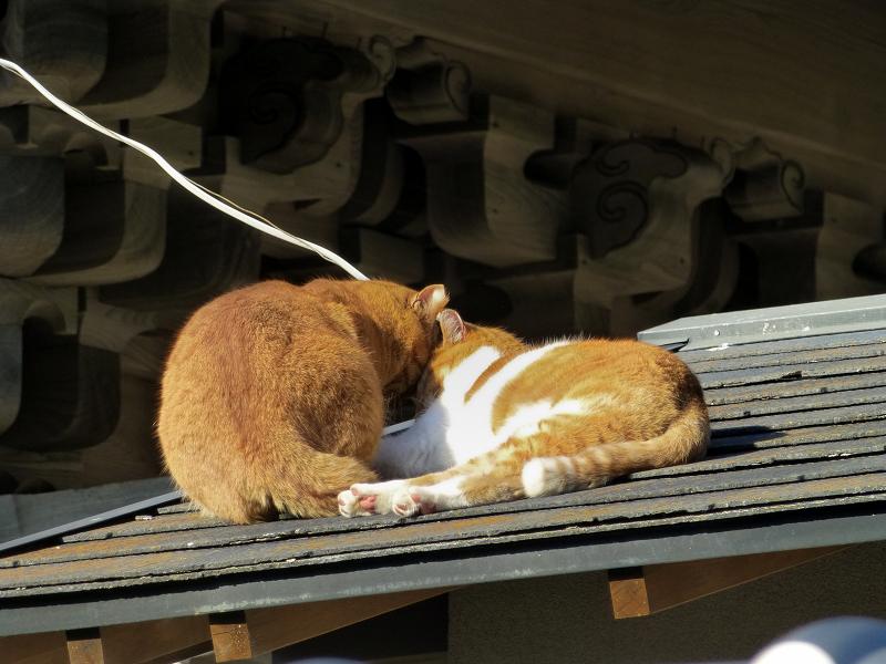 仲良しな屋根上の茶系の猫1