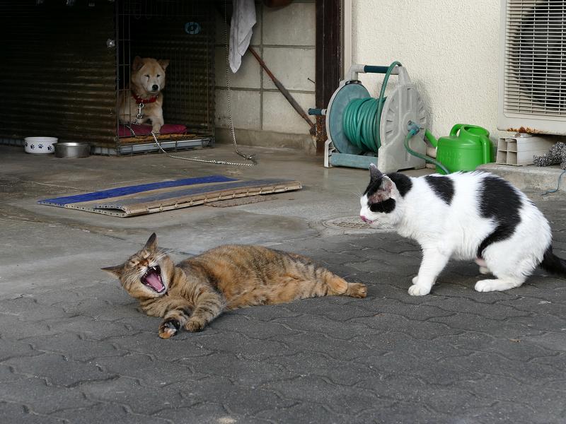 白黒猫に足を嗅がれてアクビするサビ柄猫2