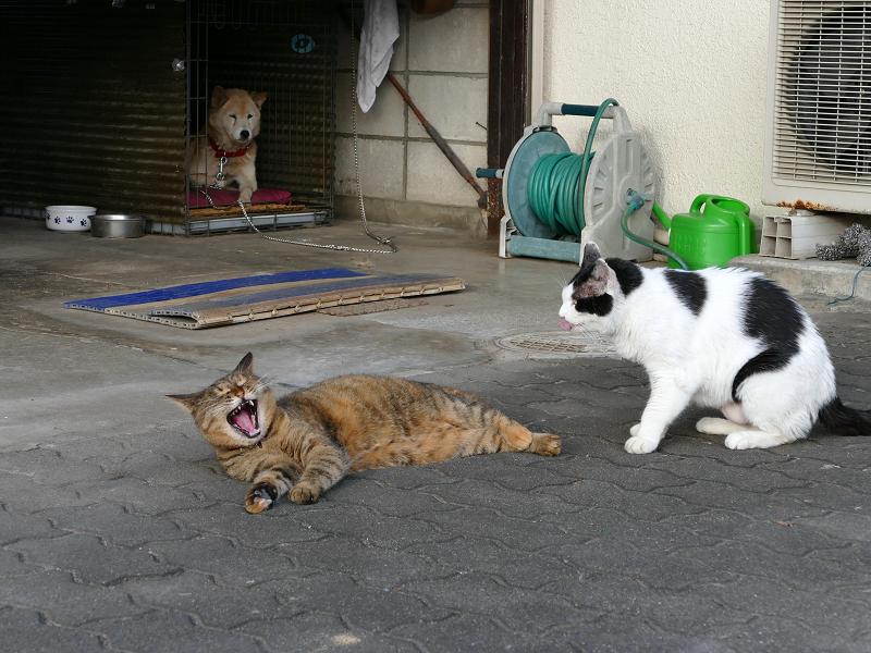 白黒猫に足を嗅がれてアクビするサビ柄猫3