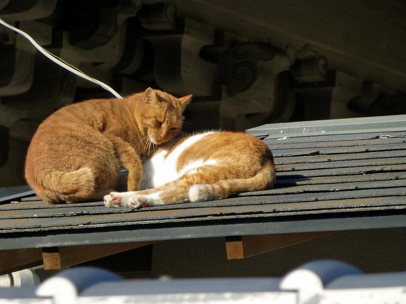仲良しな屋根上の茶系の猫3