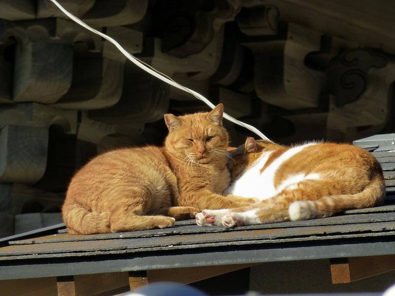 仲良しな屋根上の茶系の猫4