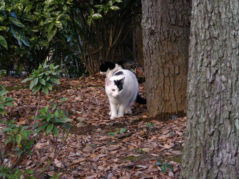 林を歩く白黒猫1