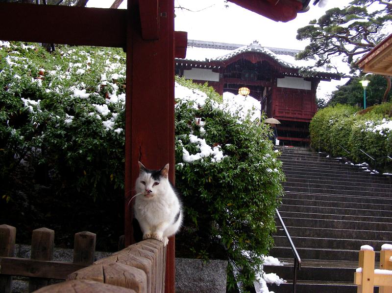 霙混じりの階段と白黒猫1