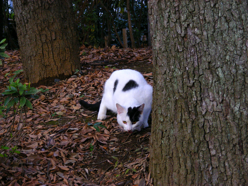 林を歩く白黒猫2