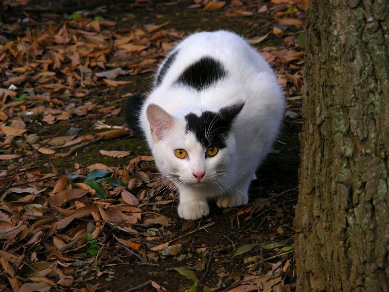 林を歩く白黒猫3
