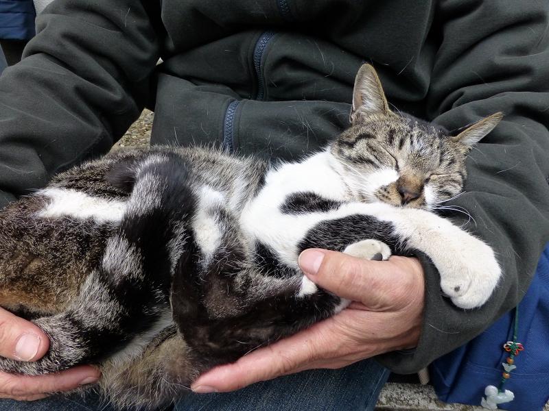 膝の上で寝ちゃったキジ白猫1