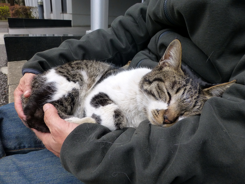 膝の上で寝ちゃったキジ白猫3