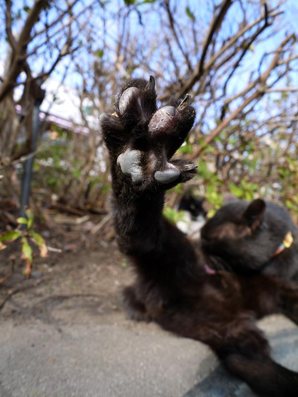 茂みの前で足の指を広げた黒猫1