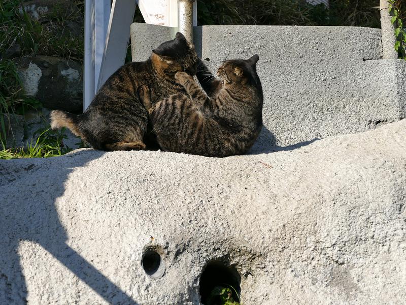 壁際で掴み合いの母娘キジトラ猫1