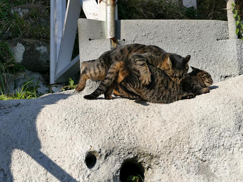 壁際で掴み合いの母娘キジトラ猫3
