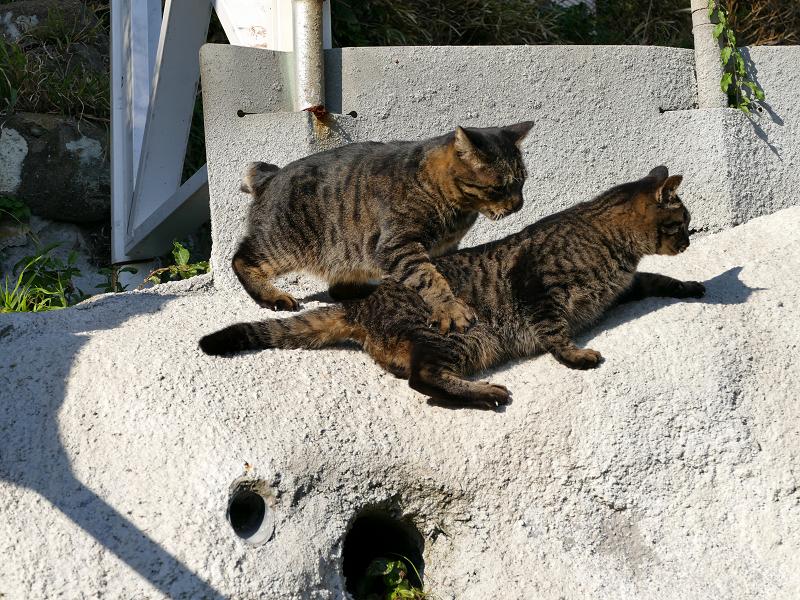 壁際で掴み合いの母娘キジトラ猫4