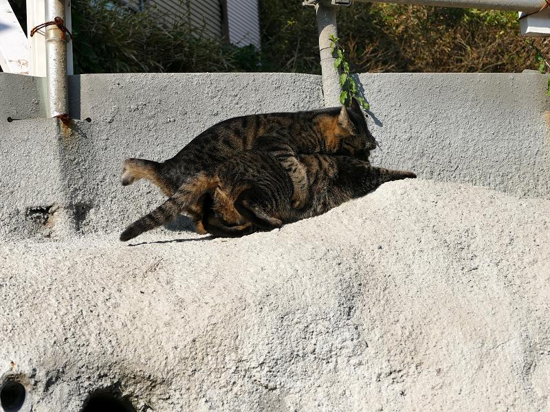 壁際で掴み合いの母娘キジトラ猫6