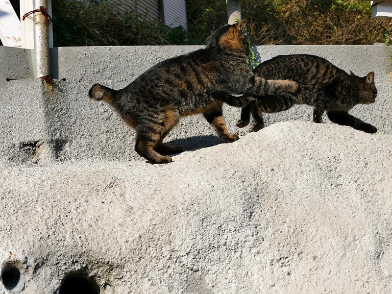 壁際で掴み合いの母娘キジトラ猫7