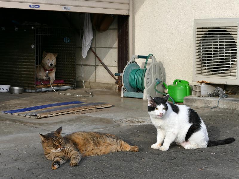 ガレージ前のサビ柄猫と白黒猫1