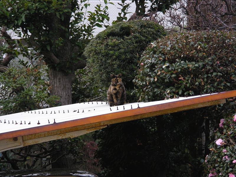 ガレージ屋根のサビ柄猫1