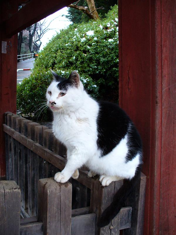 雪の日に柵に乗った白黒猫1