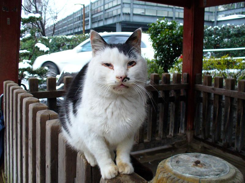 雪の日に柵に乗った白黒猫2