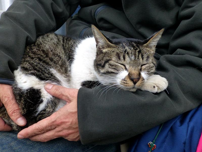 膝の上で寝落ちしたキジ白猫2