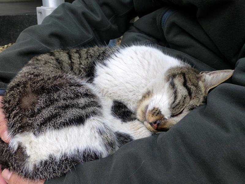 膝の上で寝落ちしたキジ白猫3