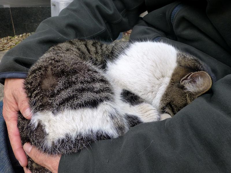膝に乗って寝落ちしたキジ白猫4