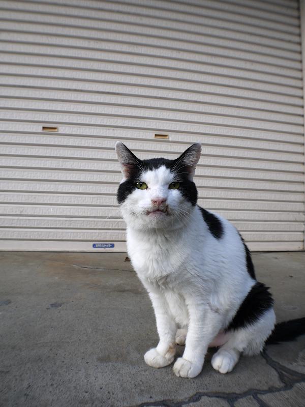 シャッター前の白黒猫1