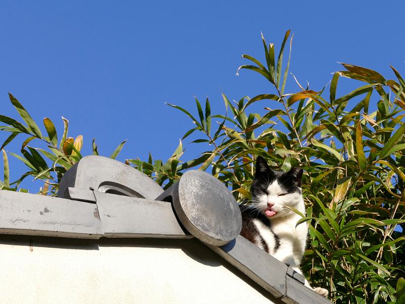 瓦屋根の端から顔を出してる黒白猫1