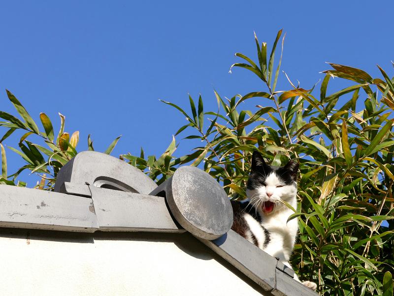 瓦屋根の端から顔を出してる黒白猫2