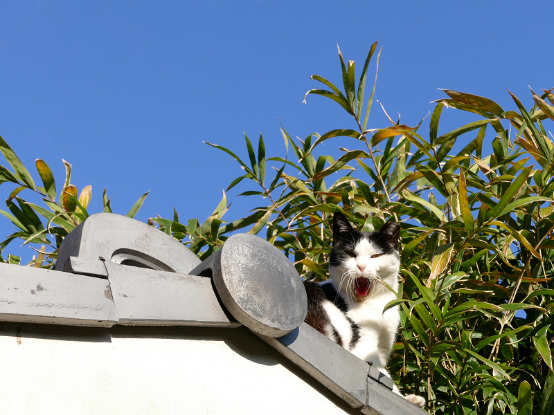 瓦屋根の端から顔を出してる黒白猫3