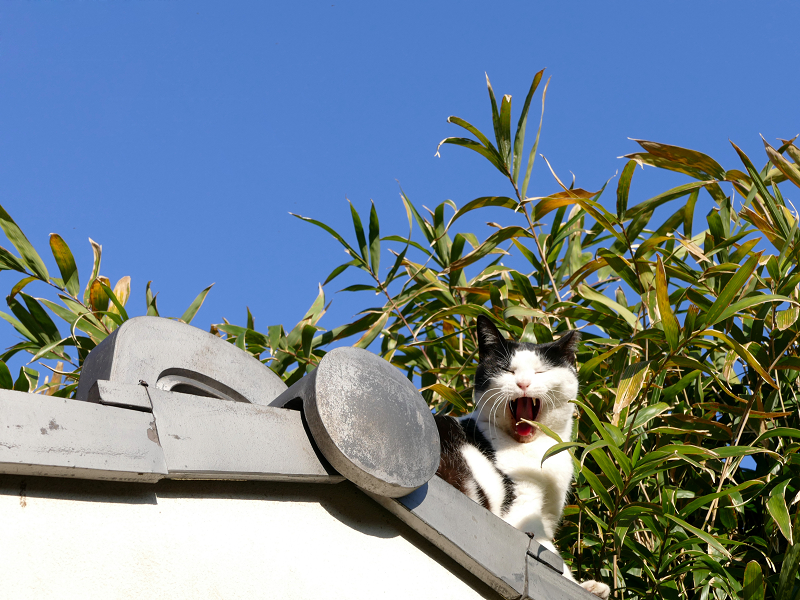 瓦屋根の端から顔を出してる黒白猫4