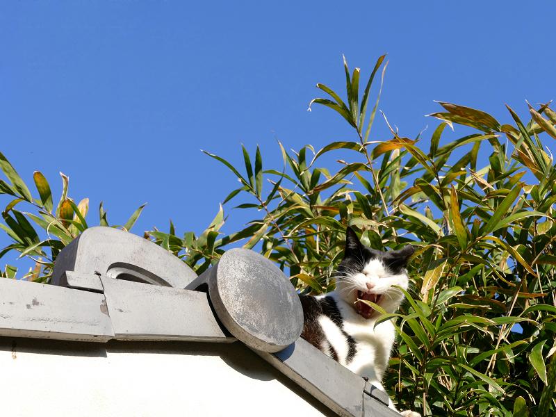 瓦屋根の端から顔を出してる黒白猫5