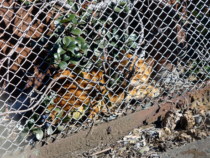 金網の向こう側の茶トラ猫1