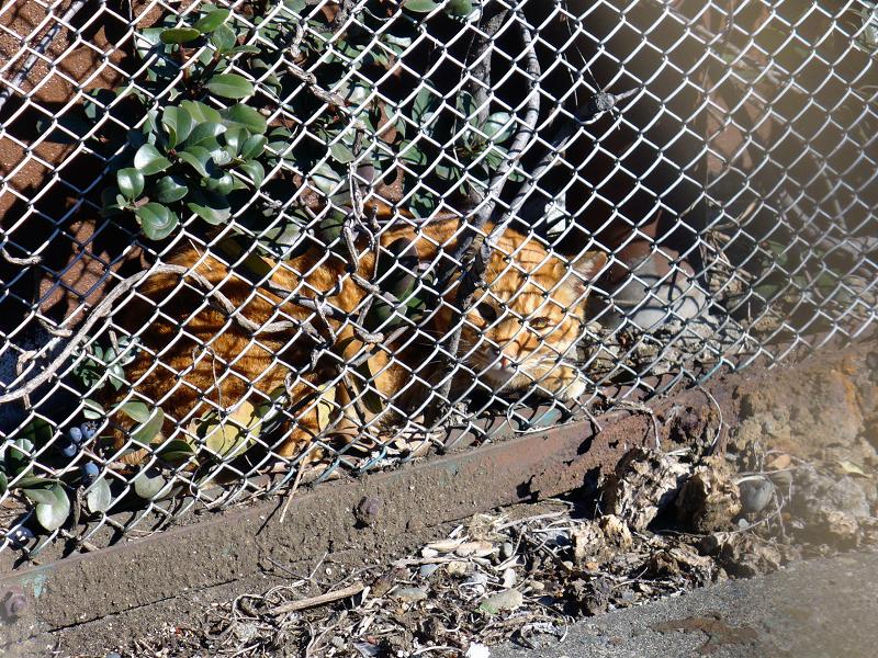 金網の向こう側の茶トラ猫2