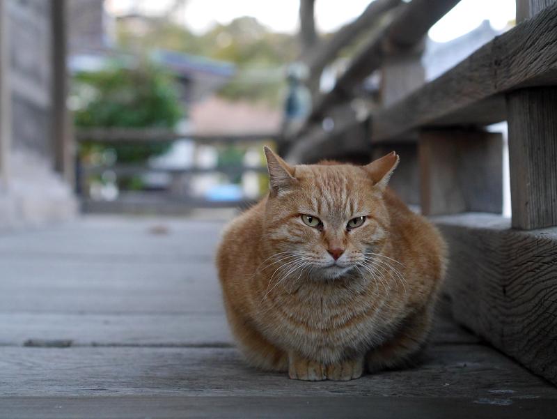 廻り縁の茶トラ猫1