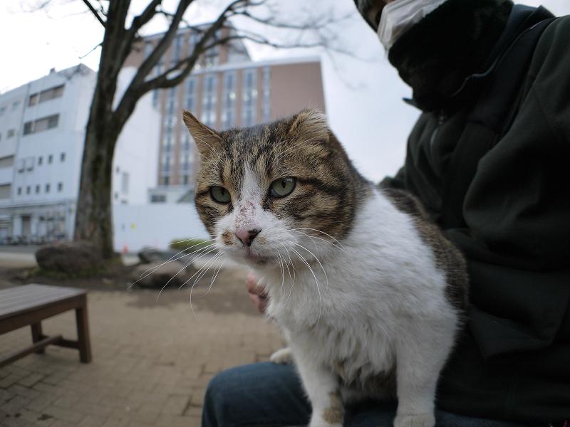 甘えながら膝に乗ったキジ白猫2