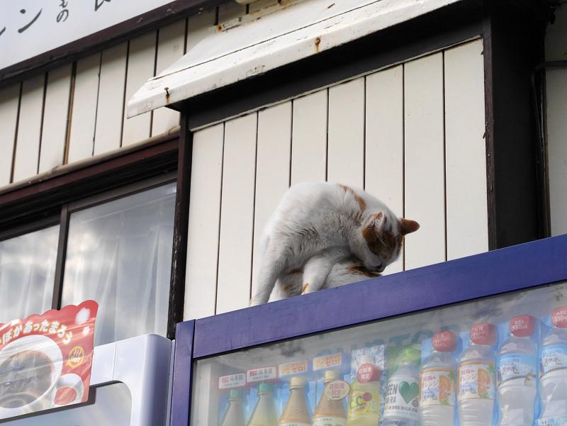清涼飲料水自販機の白茶猫1